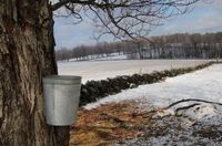 Maple_syrup_buckets