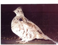 grouse picture